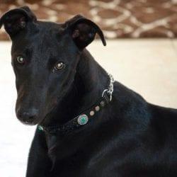 Gallione-Richard-Black-Dog
