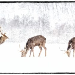 Shea-Paul-Deer-in-Snow-Storm3