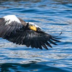 Shea-Paul-eagle